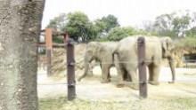 上野動物園 象