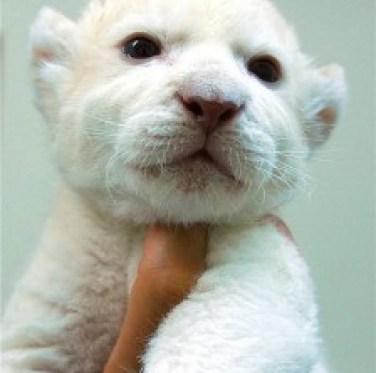 Baby Animals White Lion