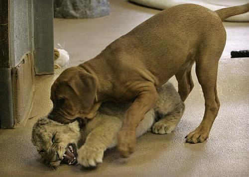 Puppy Vs Lion Cub