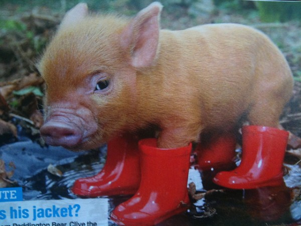 One of my all time favorite teacup pig photos.