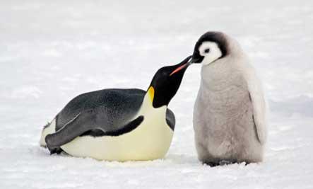 penguins the flightless bird