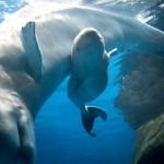 baby beluga whale belugas whales zoo song