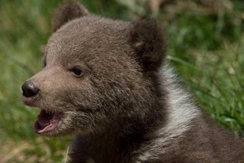 Grizzly Bear Cubs  Baby Animal Zoo