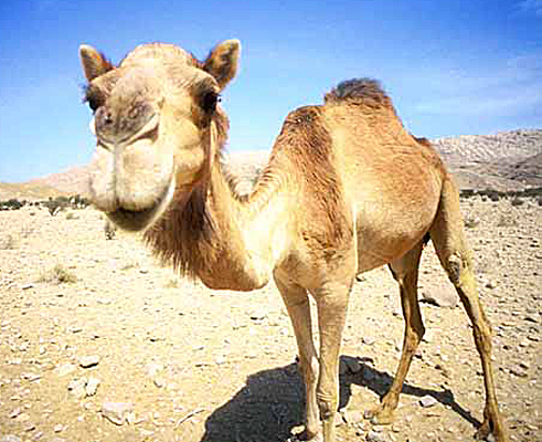 Image result for cute camel