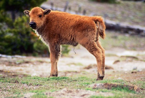 tags adorable baby and mommy animals bison calfs cute
