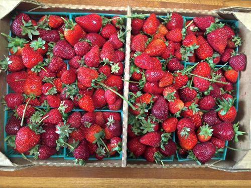organic u-pick strawberries from suisie's farm