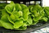 green-butter-lettuce