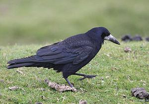 300px-corvus_frugilegus_-dartmoor_devon_england-8