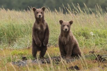 Picture of bear cubs