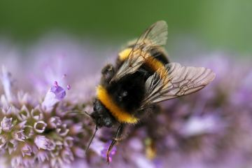 Bee Featured image