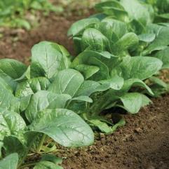 Semis de laitue