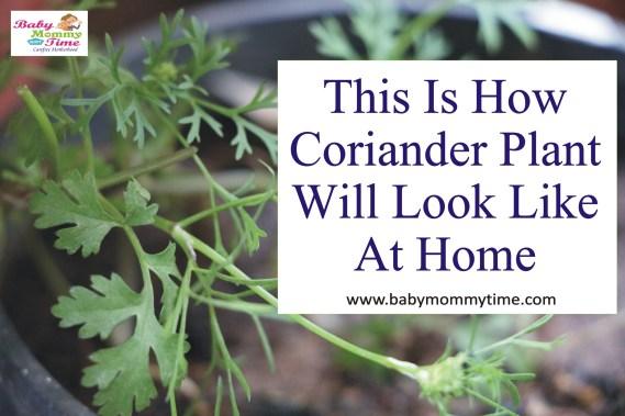 grow coriander
