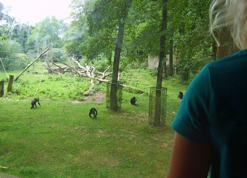 burgerszoochimpansees
