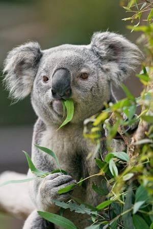 Daun Kesukaan Koala : kesukaan, koala, Mengenal, Binatang, Koala, Fakta, Tentangnya