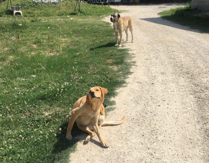 Doggos protecting a vineyard