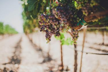 Madrigal-Vineyards-155