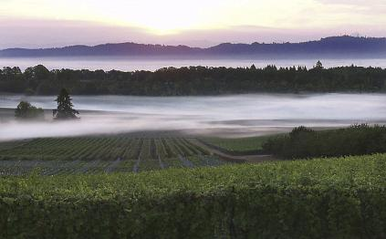 Foggy Vineyard Vista