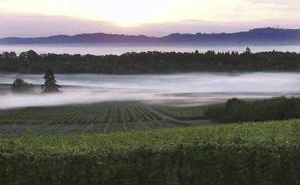 Foggy Vineyard Vista