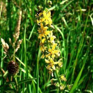 Agrimony original englische Bio Bachblüten Tropfen Nr. 1