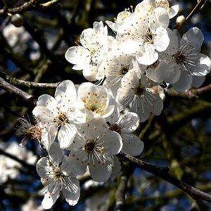 Bio Bachblüten Cherry Plum / Kirschpflaume