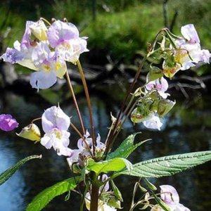 Impatiens original englische Bio Bachblüten Tropfen Nr.18