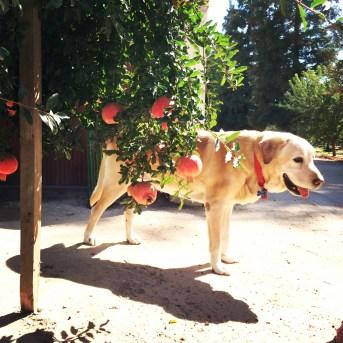 farm, dog, california
