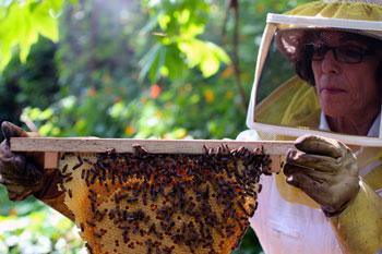 пчеларка