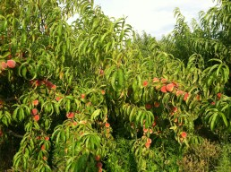 Trees over flowing with peaches