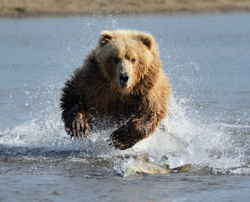 Charging Grizzly Bear on Katmai Photography Tour