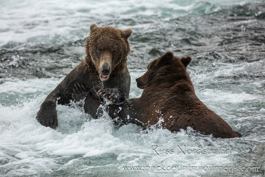 Brown Bears of Katmai in Summer
