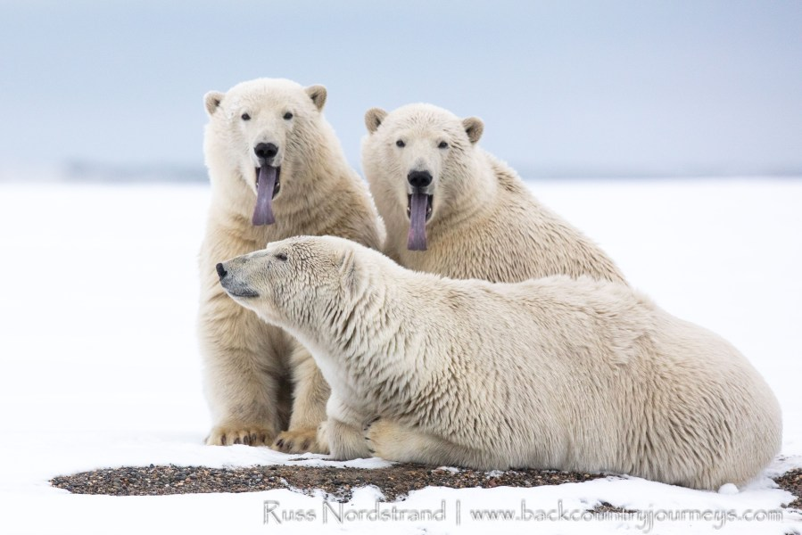 Polar Bears of the Alaskan Arctic
