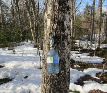 The collecting of maple sap