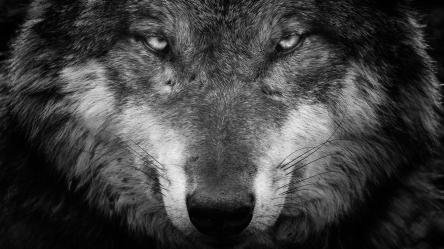 wolf face wallpapers hd animal portrait ultra 64k background stare grey featured backgrounds backiee wall windows eye