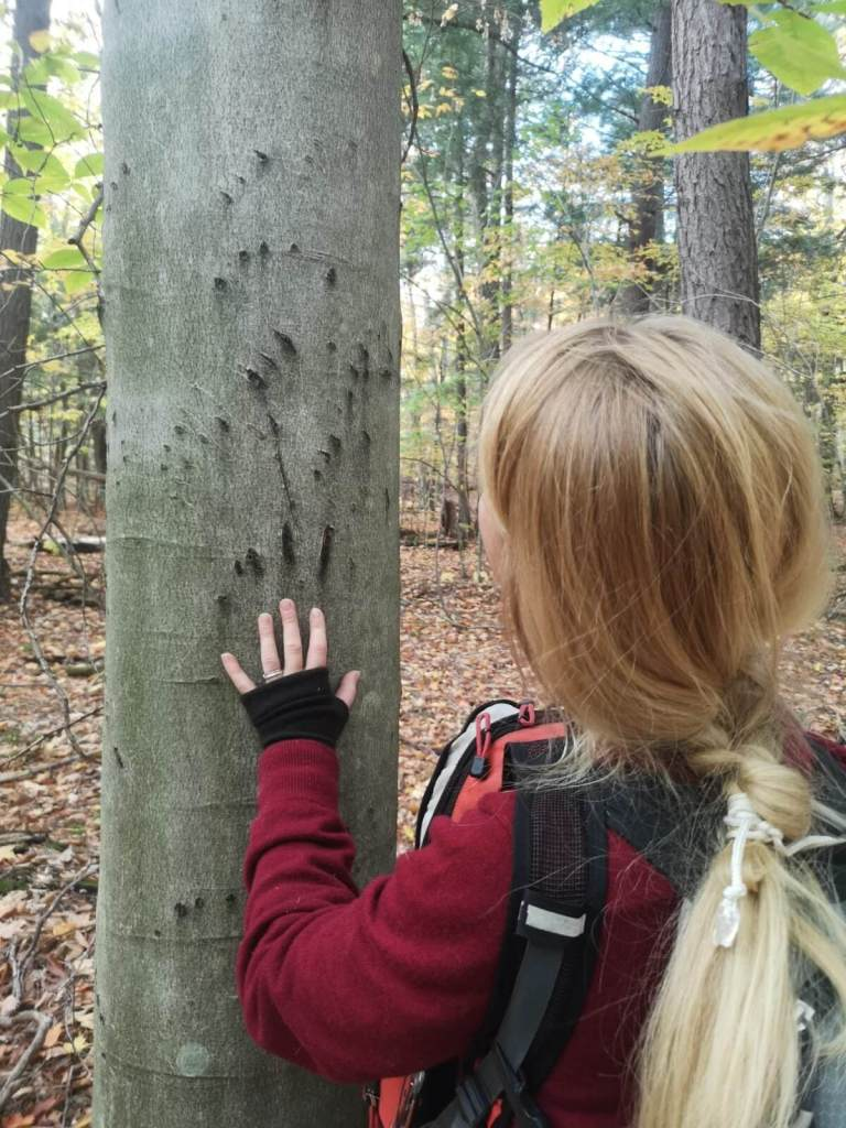 Bear claw marks in beech trees