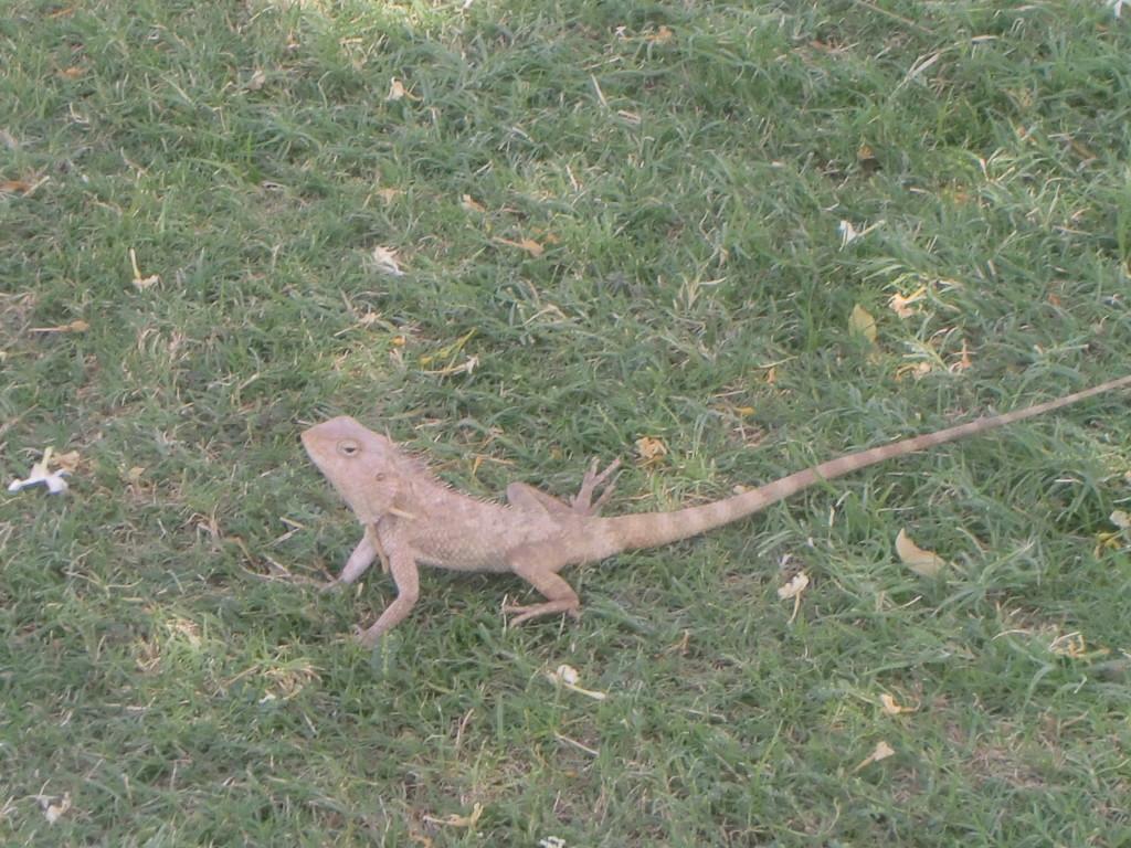 ジャスワント・タダにいた野生のトカゲ