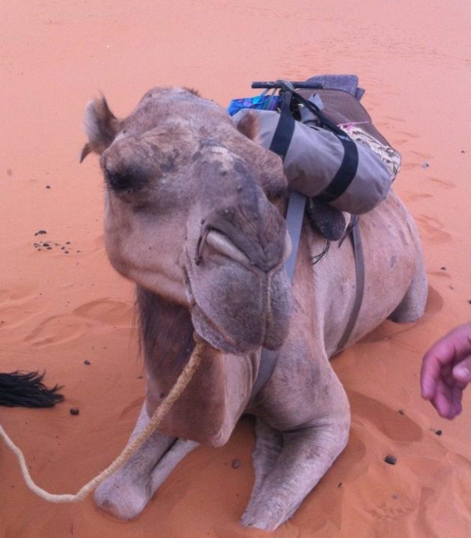 サハラ砂漠散策をお供してくれるラクダ君
