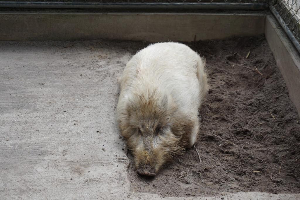 世にも貴重な白い猪を崇める『和氣神社』