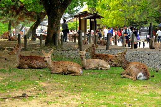 Watch out for aggressive deer in Nara Park