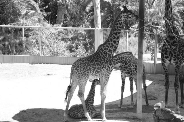 Baby giraffe babing giraffely.