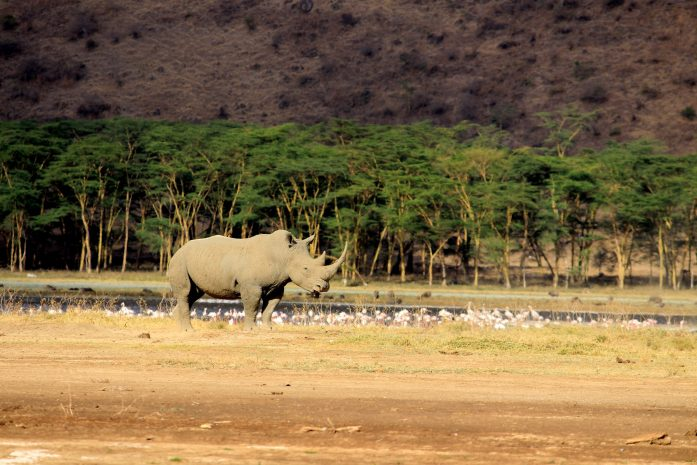 white rhino at nakuru