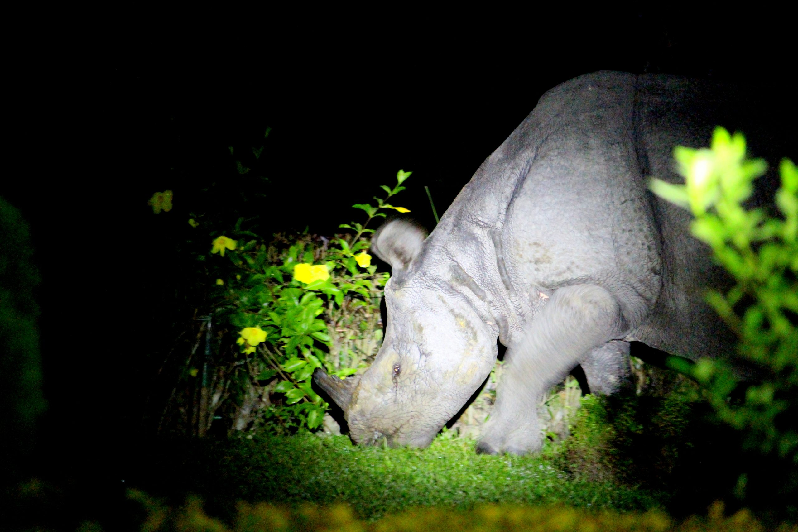 one-horned rhino in jaldapara bengal