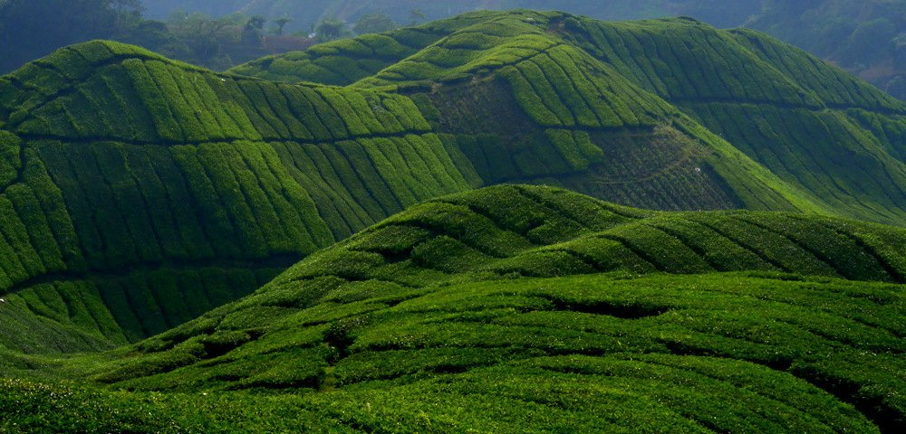 cameron highlands essay The cameron highlands is a district in pahang, malaysia occupying an area of  71218 square kilometres (27497 sq mi) to the north, its boundary touches that .