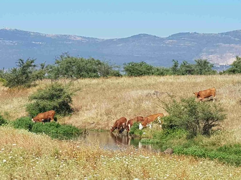 Cows on the Israel National Trail