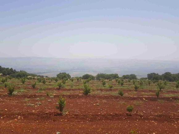 The plantation on the way, Israel National Trail