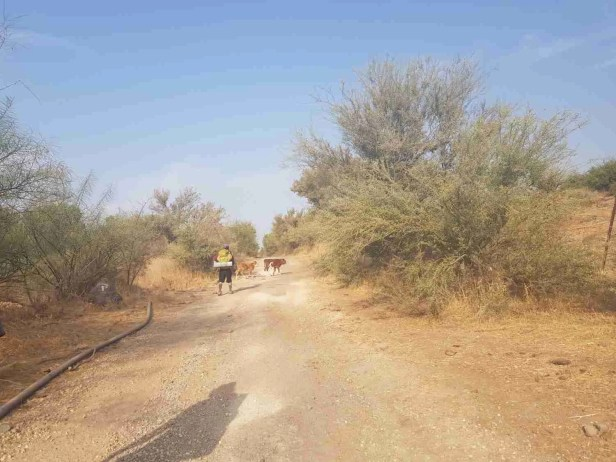 Cow crossing on the Israel National Trail