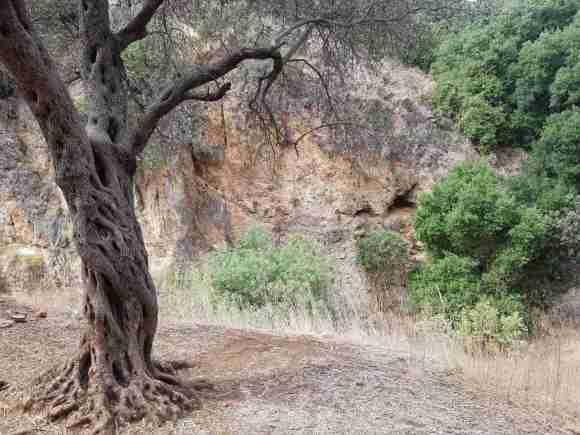 A tree in Nahal Amud