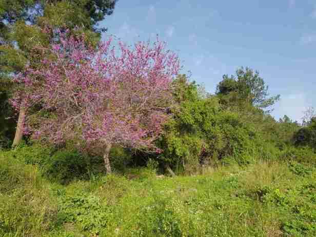Beautiful blossom on the Ramot Menashe Regional Trail