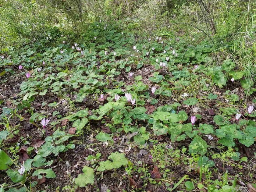 Cyclamens on the trail