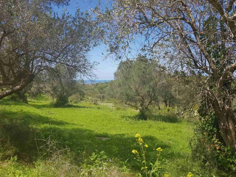 Olive trees on the Israel National Trail