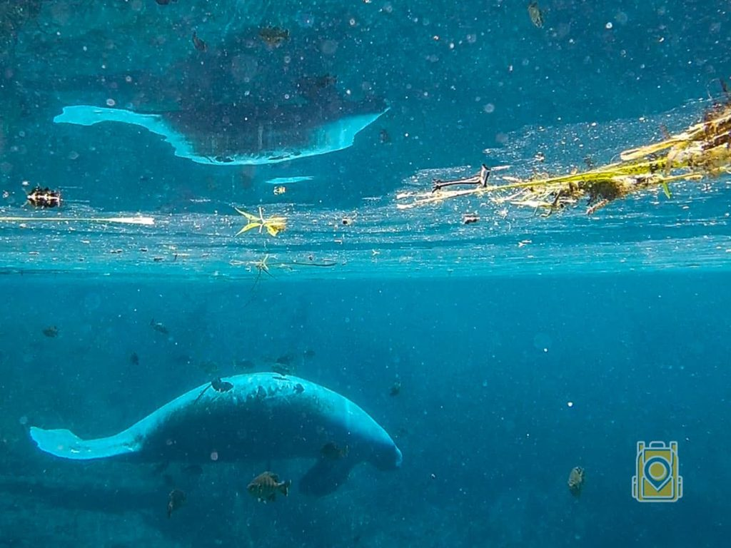 Swim With Manatees Florida: A Crystal River manatee swims just beneath the surface of the water
